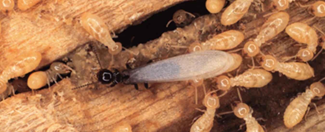 Termite Control Services in Pune